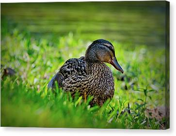 Canvas Print featuring the photograph Beautiful Mama Duck by Linda Unger