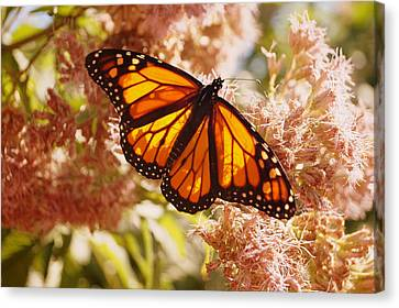 Beautiful Monarch Canvas Print by Beth Collins