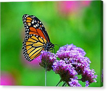 Canvas Print featuring the photograph Beautiful Monarch by Rodney Campbell