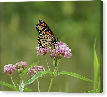 Beautiful Monarch Canvas Print
