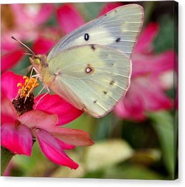 Beautiful Moth Canvas Print