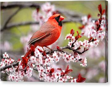 Beautiful Northern Cardinal Canvas Print by Trina Ansel