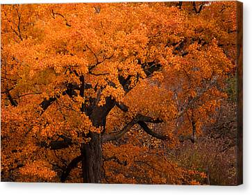 Beautiful Orange Tree On A Fall Day Canvas Print