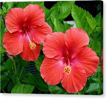 Canvas Print featuring the photograph Beautiful Pair by Jeanette Oberholtzer