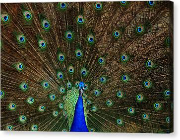 Beautiful Peacock Canvas Print by Larry Marshall