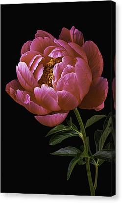 Beautiful Peony Canvas Print by Garry Gay