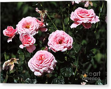 Beautiful Pink Rose L'aimant Canvas Print by Louise Heusinkveld