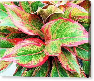 Canvas Print featuring the photograph Beautiful Red Aglaonema by Ray Shrewsberry
