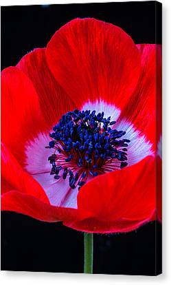 Perennial Canvas Print - Beautiful Red Anemone by Garry Gay