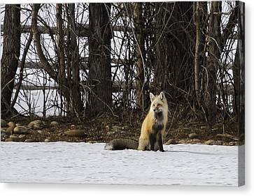 Beautiful Red Fox - No. 4 Canvas Print