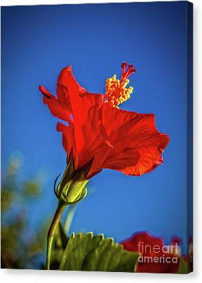 Beautiful Red Hibiscus Canvas Print