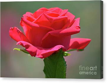 Beautiful Red Rose 2 Canvas Print by Ruth Housley