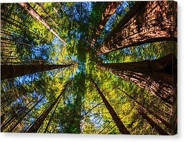 Looking To The Sky Canvas Print - Beautiful Redwood Trees In Redwood National Park California Usa by Vishwanath Bhat
