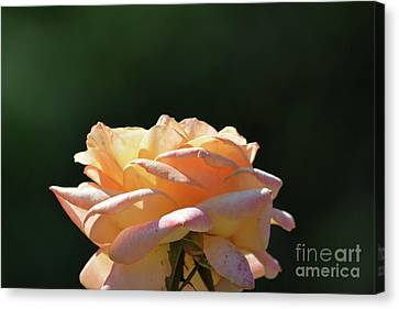 Beautiful Rose 4 Canvas Print by Ruth Housley