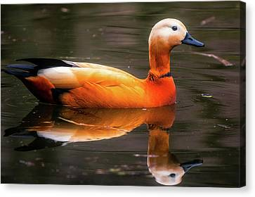 Canvas Print featuring the photograph Beautiful Rust Goose by The 3 Cats