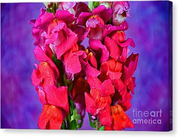 Beautiful Snapdragon Flowers Canvas Print