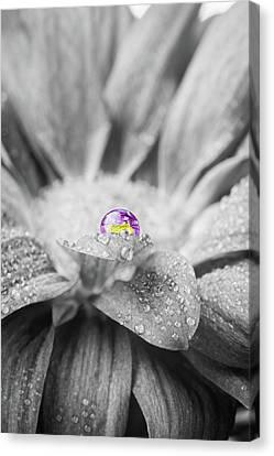 Beautiful Splash Of Purple On A Daisy In The Garden Canvas Print