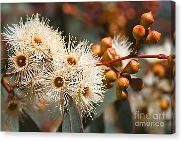 Canvas Print - Beautiful Spring Australian Eucalyptus Flowers by Joy Watson