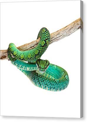 Brown Snake Canvas Print - Beautiful Sri Lankan Palm Viper by Susan Schmitz