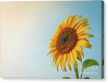 Canvas Print featuring the photograph Beautiful Sunflower And Sun Light Form Top Left. by Tosporn Preede