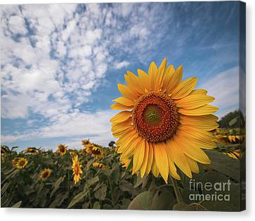 Canvas Print featuring the photograph Beautiful Sunflower Plant In The Field, Thailand. by Tosporn Preede
