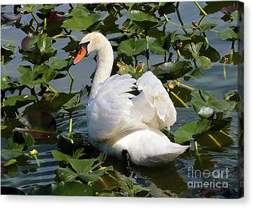 Beautiful Swan In The Lilies Canvas Print by Carol Groenen