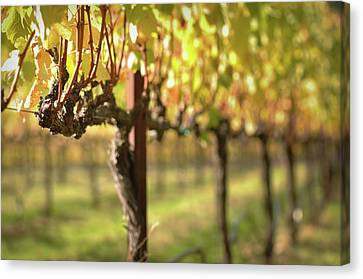 Beautiful Vineyard In Napa Valley Canvas Print by Brandon Bourdages