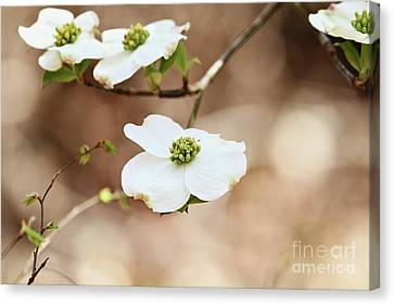 Canvas Print featuring the photograph Beautiful White Flowering Dogwood Blossoms by Stephanie Frey