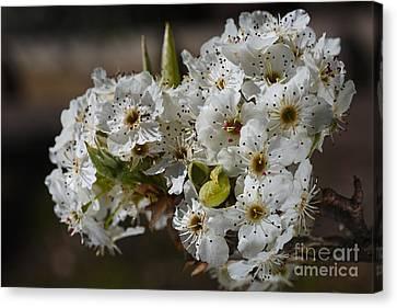Canvas Print - Beautiful White Spring Blossom by Joy Watson