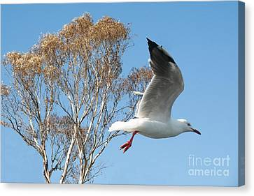 Beautiful Australian Seagull. Exclusive Photo Art. Canvas Print by Geoff Childs
