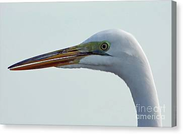 Beauty In The Great Egret Canvas Print