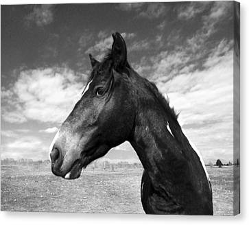 Wild Horses Canvas Print - Beauty by Jimmy Bruch