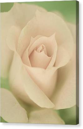Beauty Of A Soft Rose Canvas Print by The Art Of Marilyn Ridoutt-Greene