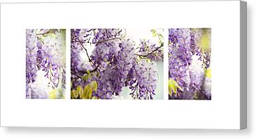 Flower Canvas Print - Beauty Of Wisteria. White. Triptych by Jenny Rainbow