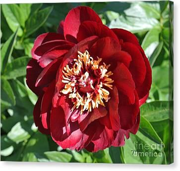 Beauty Peony Bloom Canvas Print by Marsha Heiken