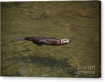 Beaver Swim Canvas Print by Randy Bodkins