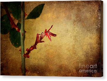 Becomes The Rose Canvas Print by Ellen Cotton
