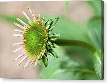 Becoming Echinacea - Canvas Print