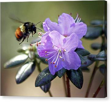 Canvas Print featuring the photograph Bee And Bob's Blue by Chris Anderson