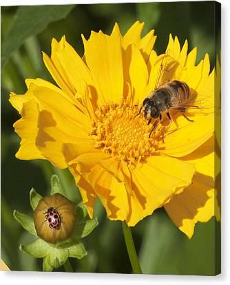 Bee And Ladybug On Coreopsis Canvas Print by George Hawkins