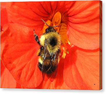 Bee And Nasturtium Canvas Print by Will Borden