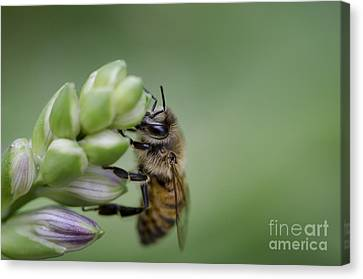 Busy Bee Canvas Print by Andrea Silies