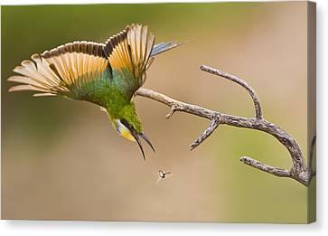 Bee-eater Canvas Print by Basie Van Zyl