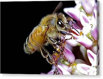 Bee Feeding Canvas Print