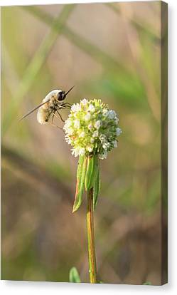 Bee Fly On A Wildflower Canvas Print by Christopher L Thomley