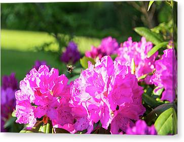 Bee Flying Over Catawba Rhododendron Canvas Print