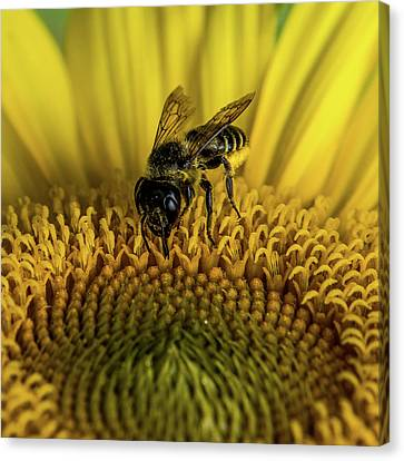 Canvas Print featuring the photograph Bee In A Sunflower by Paul Freidlund