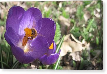 Bee In Purple Flower Canvas Print by Luke Cain