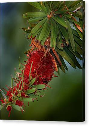 Bee In Red Flower Canvas Print by Joseph G Holland
