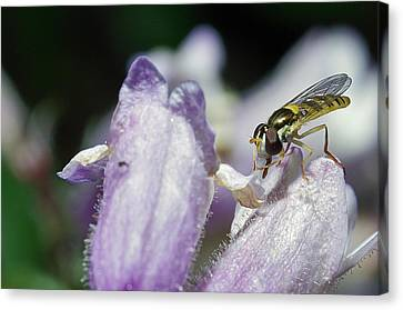 Bee Mimic On Iris Canvas Print